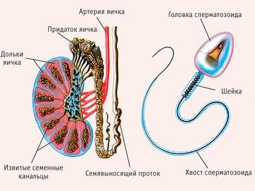 плохая спермограмма что делать Красавино